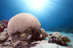 Free Brain Coral Royalty Free Stock Image - 12871246