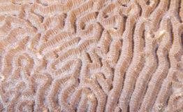 Brain Coral. Closeup of live Brain Coral royalty free stock photos