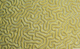 Brain coral Stock Photography