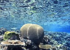 Brain Coral Royalty Free Stock Image
