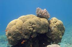 Brain coral Stock Photos