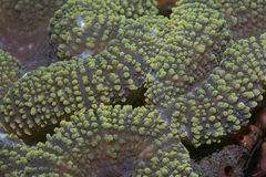 Brain coral. In the tropical reef Royalty Free Stock Photo