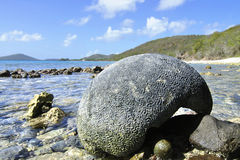 Brain coral Stock Images
