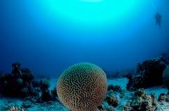Brain Coral Royaltyfri Foto