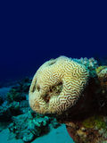 Brain Coral Royalty Free Stock Photos