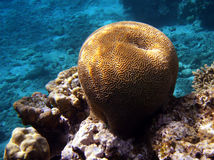 Brain Coral. Beautiful Brain Coral, living in tropical waters Royalty Free Stock Photos