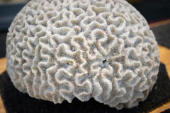 Brain Coral Foto de Stock Royalty Free