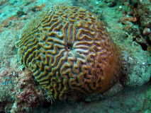 Brain Coral Stock Image
