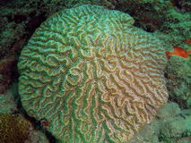 Brain Coral. This brain coral was taken about 20 feet in South Florida Royalty Free Stock Photos