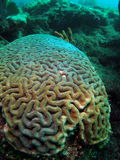 Brain Coral. This is brain coral taken at about 30 feet in Pompano beach, Florida Stock Photo