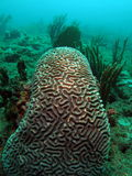 Brain Coral. This is brain coral taken at about 30 feet in Pompano beach, Florida Stock Photography