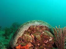 Brain Coral. Taken in Pompano beach, Florida Stock Photo