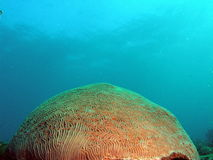 Brain Coral. This brain coral was taken at 30 feet off the beach in Ft Lauderdale, Florida Stock Photo