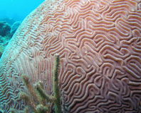 Brain Coral Stock Photos