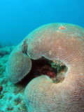 Brain Coral. Taken at 30 feet off the south Florida coast Royalty Free Stock Photography