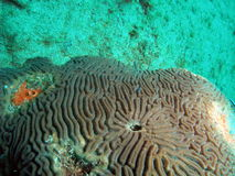 Brain Coral. With a strange pattern taken at 30 feet off the south Florida coast Stock Photography