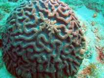 Brain Coral. With a strange pattern taken at 30 feet off thyue south Florida coast Royalty Free Stock Images