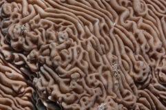 Brain Coral Royalty-vrije Stock Fotografie