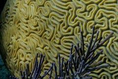 Brain Coral Imagens de Stock Royalty Free