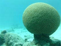 Brain Coral Fotografia Stock