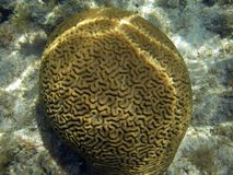 Brain Coral in Barrier Reef Stock Image