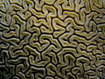 Brain Coral, Caribbean, Puerto Rico Stock Image