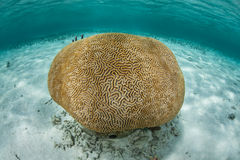 Brain Coral in Caribbean Sea Stock Photography