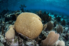 Brain Coral in Caribbean Sea Stock Photos