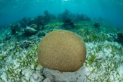 Brain Coral in the Caribbean Sea. A Brain coral grows in the shallows in Turneffe Atoll off the coast of Belize in the Caribbean Sea Stock Photo