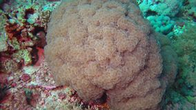 Brain coral catches plankton on a coral rif in the Red Sea. Marsa Alam, Abu Dabab, Egyp tMarsa Alam, Abu Dabab, Egypt stock footage
