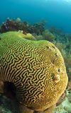 Brain coral with Christmas tree worm Stock Image
