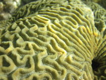 Brain Coral Close-Up Stock Images