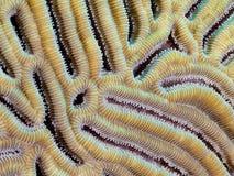 Brain Coral Closeup. Closeup of brain coral, ridges and polyps Stock Photos