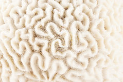 Brain coral. Closeup of brain coral texture fragment Stock Photos