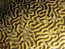 Brain Coral detail. Macro of a big yellow brain coral in caribbean reef from Guardalavaca Stock Image