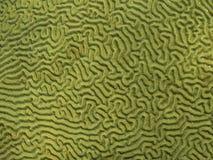 Brain Coral Detail et texture Photo stock