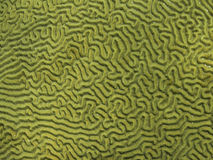 Brain Coral Detail and Texture Stock Photo