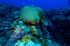Brain coral (Faviidae) near Cayo Largo, Cuba Stock Photo