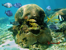 Brain coral and fish Stock Images