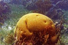 Brain coral Great Mayan Reef in Riviera Maya. Of Caribbean Mexico stock image