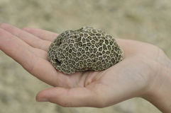 Brain Coral in hand Stock Photography