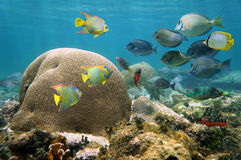 Brain coral with many colorful fishes Royalty Free Stock Image