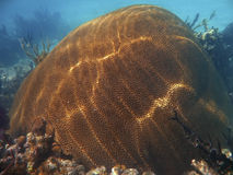 Brain coral off the Galapagos Islands Stock Image