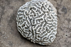 Brain coral. A piece of brain coral Stock Image
