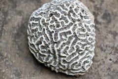 Brain coral Stock Image