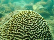 Brain coral, Platygyra Royalty Free Stock Photos