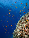 Brain Coral and Red Fishes Stock Photo