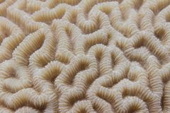 Brain Coral in Rode Overzees royalty-vrije stock foto's
