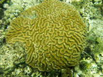 Brain Coral scanalato in Granada, i Caraibi orientali. Fotografia Stock Libera da Diritti
