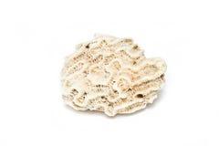 Brain Coral Stone. Stock Photo